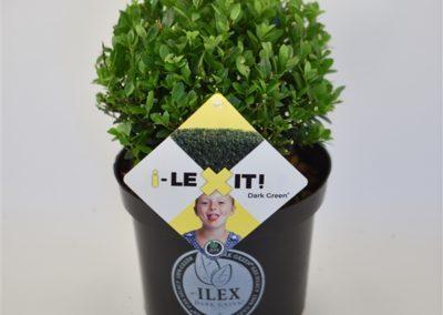 Ilex Crenata 'Dark Green®'