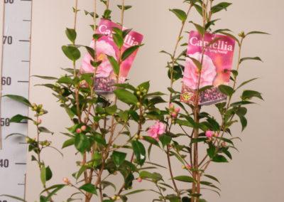 Camellia 'Springfestival'