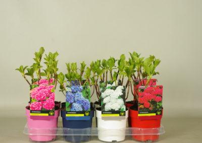 Hydrangea met kleurpot